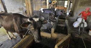 Warga mengangkut pakan untuk sapi di pusat peternakan sapi di Kuningan, Jakarta, Rabu (23/10).