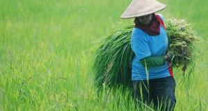Pekerja membawa tanaman gulma yang mengganggu pertumbuhan padi di kawasan Jati, Kudus, Jateng, Senin (28/10)