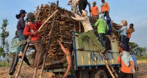Sejumlah buruh mengangkut tebu saat panen di Desa Bendo, Kab. Magetan, Jatim, Kamis (10/10). Buruh tebu musiman tersebut mengaku memanfaatkan datangnya