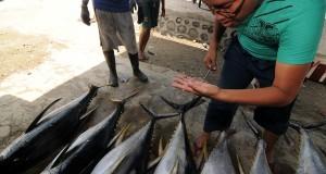 Pekerja memeriksa kualitas daging ikan tuna sebelum dipetieskan di salah satu tempat pengumpulan ikan tuna di Banawa, Donggala, Minggu (13/10).