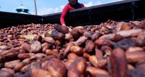 Pekerja menjemur biji kakao di Desa Bora, Sigi, Sulawesi Tengah, Senin (21/10)