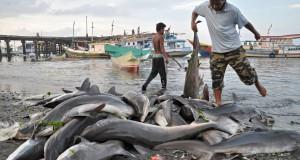 Nelayan mengumpulkan ikan hiu hasil tangkapan mereka di Pelabuhan Tanjung Luar, Kecamatan Keruak, Selong, Lombok Timur, NTB, Rabu (23/10).