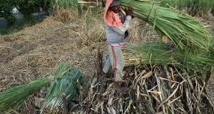 Sejumlah buruh mengangkut tebu saat panen di Perkebunan Tebu Desa Doko, Kecamatan Ngasem, Kediri, Jawa Timur, Senin (23/9).