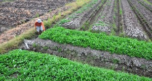 Petani membersihkan sawahnya di Desa Limbangan, Brebes, Jateng, Senin (23/9)