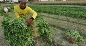 Sejumlah petani sayuran memanen sayur kangkung di Palu, Sulawesi Tengah, Sabtu (19/10).