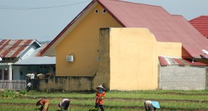 Petani menanam padi di areal pesawahan bersebelahan dengan komplek perumahan di Sungailareh, Padang, Sumbar