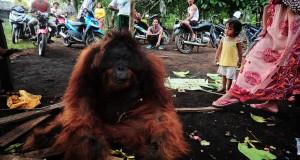 Seekor Orangutan jantan (Pongo Pygmaeus Pygmaeus) yang sudah tewas tergeletak di tanah, di Dusun Danau, Desa Peniraman, Kecamatan Sungai Pinyuh, Kabupaten Pontianak, Kalbar