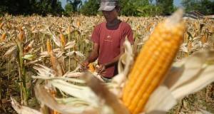 Petani  mengupas kulit agar jagung kering dipohon ketika dipanen, di Desa Polagan, Galis, Pamekasan