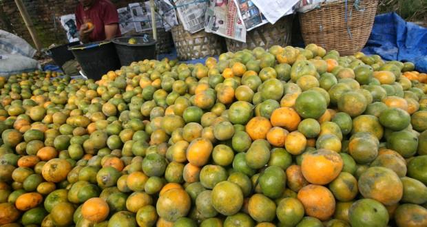 PANEN JERUK. Seorang petani menyortir jeruk madu saat panen di Desa Gajah Kec Simpang Empat Kab Karo, Sumut, Kamis (24/10).