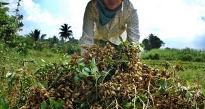 Petani warga Kampung Mendong, Petir, Kab Serang memanen kacang tanah.