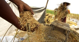 Petani menggambang padi di area persawahan saat panen di Tangerang, Banten