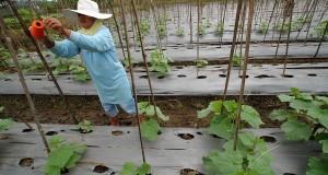 Petani memasang benang untuk tempat menjalarnya tanaman ketimun di Kampung Bungur Sari, Tasikmalaya, Jabar, Jumat (20/9)