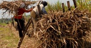 Dua orang pekerja mengangkut tebu, dari lahan pertanian untuk di angkut ke rori di Desa Kedawung Wetan, Kec. Grati, Pasuruan,