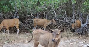Sejumlah ternak sapi mencari makan didekat hutan bakau Kawasan Wisata Alam Bangko-Bangko, Desa Batu Putih, Kecamatan Sekotong, Gerung, Lombok Barat, NTB