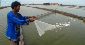 Seorang pekerja melempar ikan bandeng ukuran besar usai dipisahkan dengan ikan bandeng lainnya di kawasan budidaya ikan bandeng Tanjung pasir, Kabupaten Tangerang, Banten, Senin (18/11). Seorang pekerja melempar ikan bandeng ukuran besar usai dipisahkan d