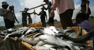 Sejumlah petambak memanen ikan bandeng di areal tambak desa Karangsong, Indramayu, Jawa barat