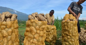 Petani mengemas ubi jalar menggunakan waring sayur di Desa Sidomulyo,  Sidorejo, Magetan, Jatim, S