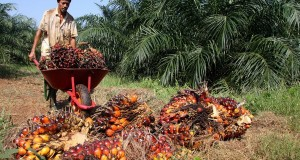 Seorang pekerja mengangkut kelapa sawit di perkebunan PTPN VIII kebun Cimulang, Bogor, Jabar, Selasa (26/5)
