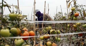 Petani membersihkan abu vulkanik erupsi Gunung Kelud yang menutupi tanaman tomat di lahan pertanian Desa Ngancar, Ngancar, Kediri, Jawa Timur, Rabu (19/2)