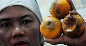 Pedagang menunjukkan jeruk yang busuk terkena abu vulkanik di kiosnya di Pasar Pagi Tegal, Jateng, Minggu (16/2).