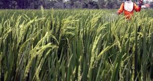 Seorang petani menyemprotkan obat pestisida ke tanaman padi di areal pertanian wilayah Kepuh, Karawang Barat, Karawang, Jabar