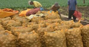 Petani memasukan kentang hasil panenan ke dalam karung di Desa Curah Macan, Sempol, Bondowoso, Jawa Timur, Kamis (6/3)