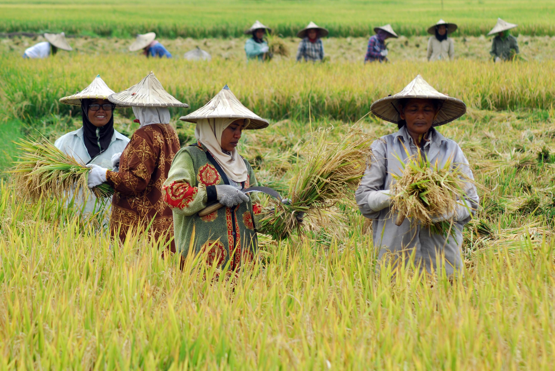 petani padi