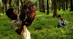 Pekerja mengangkut hasil panen kelapa sawit di perkebunan kelapa sawit PT. Perkebunan Nusantara XIV, Bayondo, Kecamatan Tomoni, Luwu Timur, Sulsel, Sabtu (10/5).
