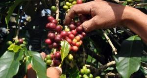Petani memetik kopi varietas Arabika Kate di perladangan dengan pola Tlahab di kawasan lereng Gunung Sindoro, Desa Tlahab, Kledung, Temanggung, Jateng, Senin (19/5)