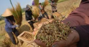 Petani merontokan padi yang sudah dipanen, di Kampung Pamijahan, Desa Mendanglayang, Ciamis, Jawa Barat, Kamis (8/5).