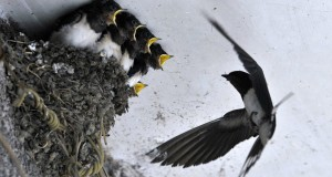 A swallow feeds her babies in their nest under the ceiling of a residential house in Mairang village of Guiyang