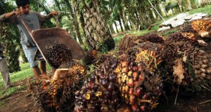 Petani memanen buah kelapa sawit di ladangnya, Nagari Tapakis, Padangpariaman, Sumbar,