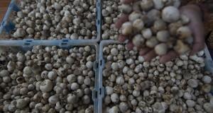 Warga memilah hasil panen jamur merang di Kampung Jamur Merang binaan PT Pertamina EP Asset 3 Subang Field di Desa Sukamulya, Kecamatan Cilamaya Kulon, Kabupaten Karawang, Jawa Barat, Kamis (28/8).