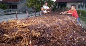 Warga menjemur rumput laut hasil panen mereka, di Desa Namtabung, Pulau Selaru, Kabupaten Maluku Tenggara Barat (MTB), Maluku, Senin (11/8).