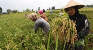 Petani memanen padi saat panen raya di Kampung Susuk Medan, Sumut, Sabtu (13/9)