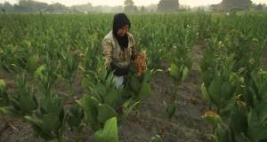 Petani memanen tembakau di Klaten, Jawa Tengah
