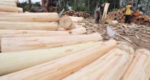 Pekerja sedang mengupas kulit kayu pohon Sengon di desa Jatiroto, kecamatan Sumber Baru, Kabupaten Jember, Jatim, Rabu (8/10).