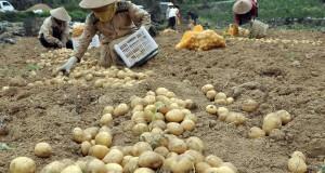 Warga memanen kentang di perladangan kawasan dataran tinggi Dieng Desa Patak Banteng, Kejajar, Wonosobo, Jateng, Sabtu (11/10).