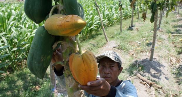 """Seorang petani memetik buah Pepaya jenis """"Bangkok"""" saat  panen di kawasan Pagu, Kediri, Jawa Timur, Rabu"""