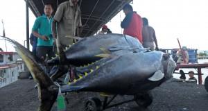 Sejumlah nelayan melakukan bongkar muatan ikan tuna hasil tangkapan mereka di tempat pelelangan ikan, Pelabuhan Perikanan Samudra Cilacap, Jateng,
