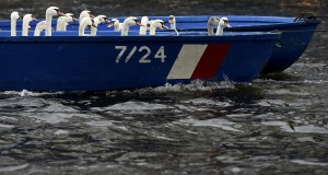 Swans sit in a boat after they were rounded up from Hamburg's inner city lake Alster