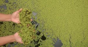 Seorang peternak lele memberi Azolla (Azolla microphylla) atau tumbuhan sejenis paku air untuk pakan alternatil lele di Kelurahan Kebonsari, Sumbersari, Jember, Jawa Timur