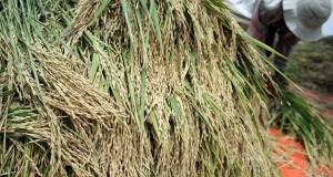 Buruh tani mengumpulkan padi saat panen di lahan persawahan Desa Ngasem, Kediri, Jawa Timur, Rabu (26/11).