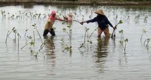 Kelompok Tani binaan World Wide Fund (WWF) menanam manggrove di lahan tambak , Desa Lamujung, Kecamatan Baitussalam, Aceh Besar, Aceh, Rabu (25/11).