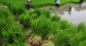 Sejumlah pekerja memindahkan bibit tanaman padi yang siap ditanam di Desa Pesarean,