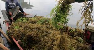 Nelayan menambatkan perahu yang memuat rumput laut yang baru dipanen, di Karangantu, Kasemen, Serang, Banten, Selasa (16/12).