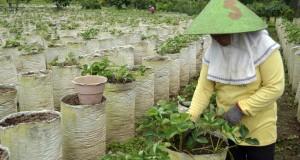 Petani membersihkan pembibitan stroberi di lokasi pegembangan perkebunan di Desa Pelaga, Kabupaten Badung, Bali, Rabu (3/12).