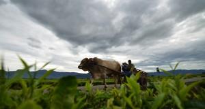 Petani menggunakan gerobak sapi melintascdi Desa Kersik Tuo, Kayu Aro, Kerinci, Jambi, Minggu (28/12)