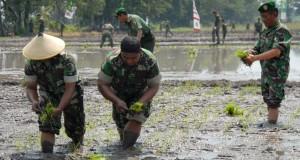 Sejumlah anggota TNI AD dari Kodam V/Brawijaya melakukan penanaman padi di areal persawahan Desa Mulyorejo, Kraton, Pasuruan, Jatim, Rabu (28/1).