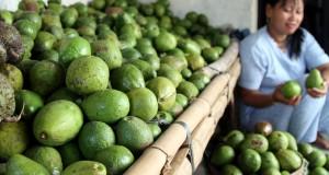 Petani buah Alpukat menyortir hasil panen buah alpukat sebelum didistribusikan ke daerah Surabaya, di Desa Bulu, Kecamatan Purwoasri, Kediri, Jawa Timur, Rabu (28/1)